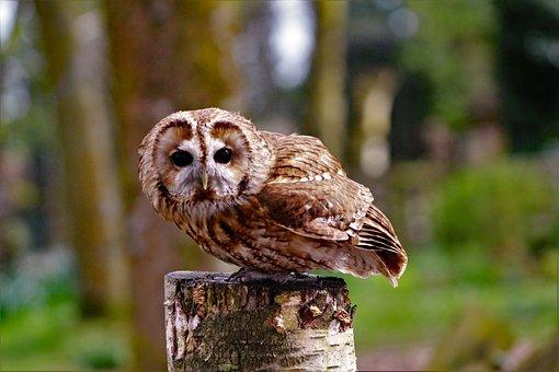 Boobook Owl, Little Owl, Staring, Owl, Bird, Australia