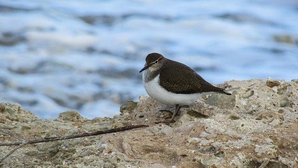 Seabird, Cyprus, Little Stint, Migratory, Bird