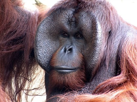 Orangutan, Animal, Monkey, Zoo, Nature, Ape, Primate