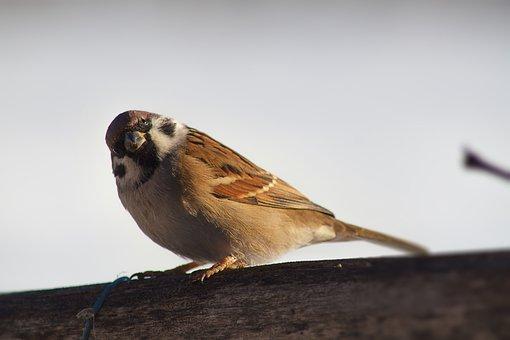 Sparrow, Bird, Closeup, Nature, Natural, Wildlife