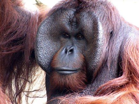 Orangutan, Animal, Monkey, Zoo, Nature, Ape, Primate
