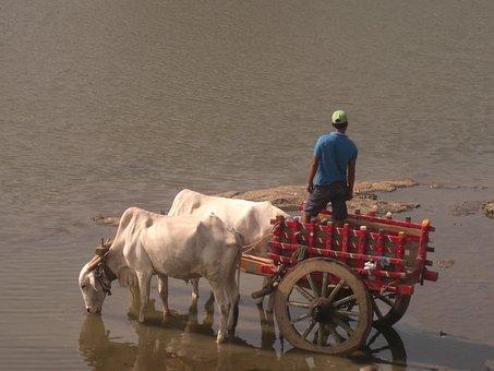 Bullock Cart, Bulls, Bullock, Village, Rural