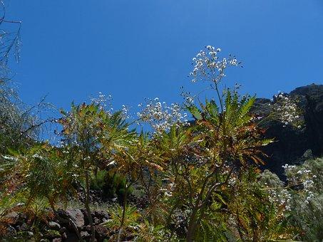 Tree Sow-thistle, Sonchus Congestus, Seeds, Trees