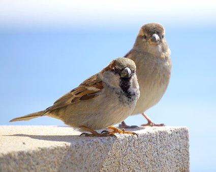 Birds, Sparrows, Ave, Little Bird, Animal