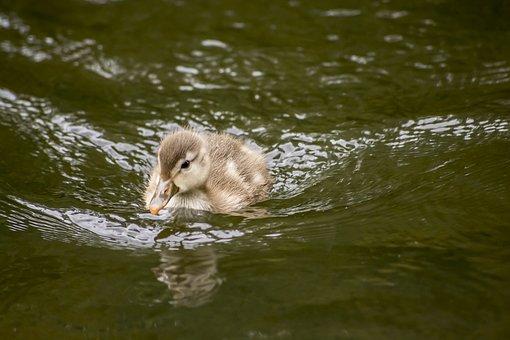 Duck, Baby, Duckling, Cute, Newborn, Water, Toy, White