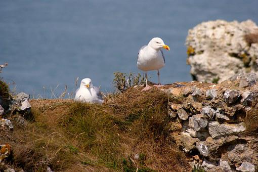 Gull, Breed, Pair, Two, High Above, Nest, Blue, Sea