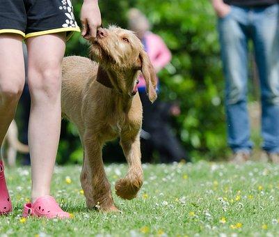 Dog School, Dog Training, Viszla, Vizsla