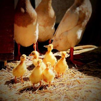 Ducklings, Ducks, Water, Baby, Animal, Nature, Cute