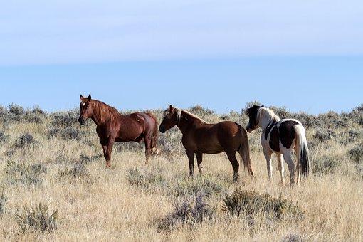 Horses, Wild Horses, Mustangs, American Wild Horses