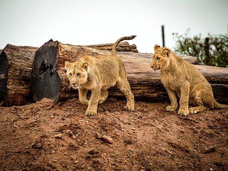 Lion, Lion Cub, Cat, Big Cat, Animal, Africa, Wildlife