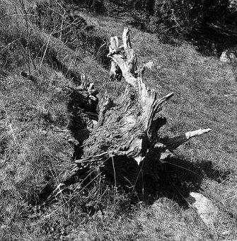 Strain, Wood, Trunk, Black And White, Dry, Old, Root