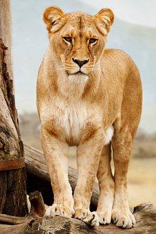 Africa, African, Animal, Big, Carnivore, Cat, Feline