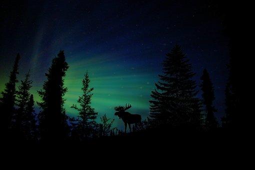 Moose, Animal, Christmas, Christmas Card, Starry Sky