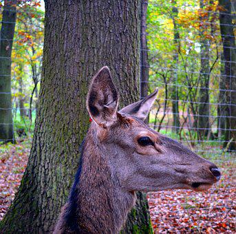 Roe Deer, Wild, Scheu, Close, Nature, Forest, Female