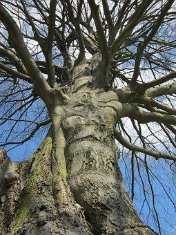 Fagus Sylvatica, European Beech, Common Beech, Tree