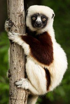 Lemur, Wildlife, Madagascar, Coquerel's Sifaka, Sifaka