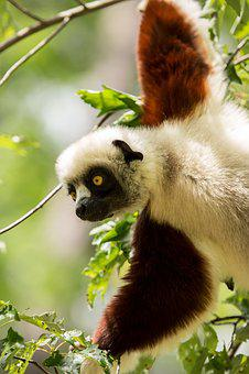 Lemur, Coquerel's Sifaka, Sifaka, Madagascar
