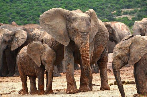 Africa, Elephant Family, Elephant