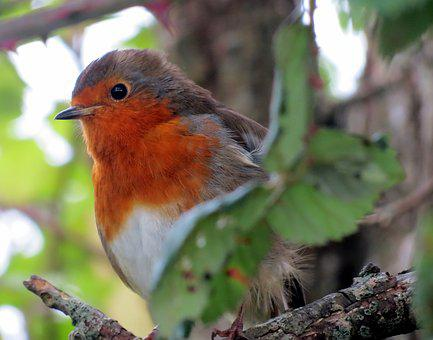 Robin, European, Bird, Animal, Rubecula, Erithacus