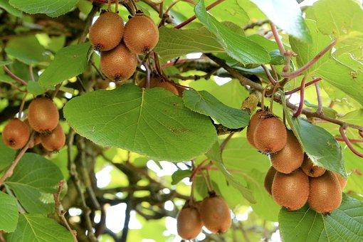 Kiwi, Fruit, Vitamins, Healthy, Fruits, Food, Green