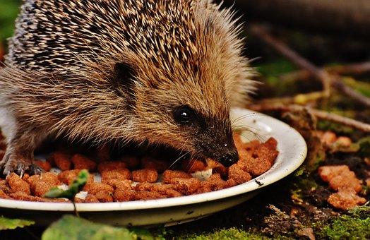 Hedgehog Child, Young Hedgehog, Hedgehog, Animal, Spur