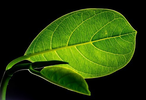 Leaf, Leaves, Jack Fruit Leaf, Green