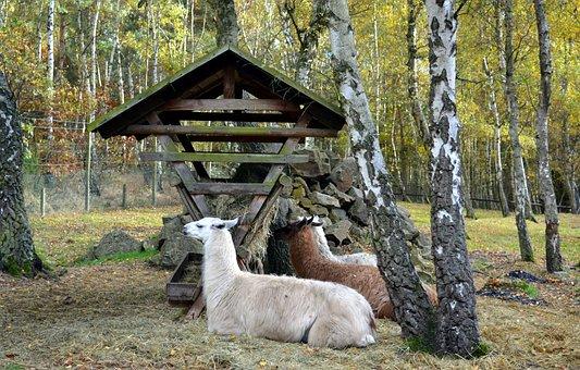 Lama, Lama Glama, Paarhufer, Andes, Camel-like
