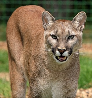 Cougar, Mountain Lion, Big Cat, Feline, Beautiful