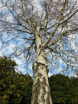 Birch, Tree, Deciduous Tree, Garden Tree, Nature, Tribe
