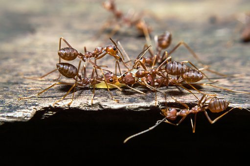 Ants, Life, Animals, Nomads Red, Thailand