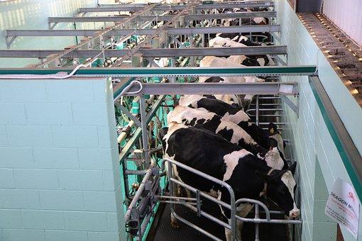 Milking, Parlour, Modern, Milk, Dairy, Parlor