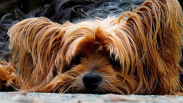 Dog, Yorkshire Terrier, Lazy Dog, Portrait