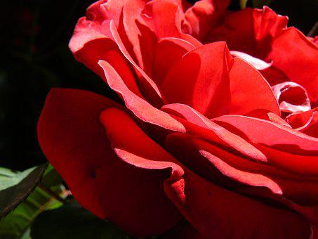 Red Rose, Romance, Romantic, Rose, Spring, Red, Flower