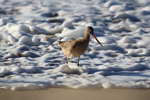 Marbled Godwit, Bird, Shorebird, Beach, Shore, Coast
