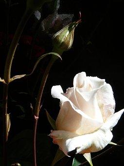 Rose, White Rose, Flower, White, Romance, Love
