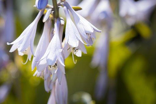 Plantain Lily, Sweetheart Lily, Hosta, Agavengewächs