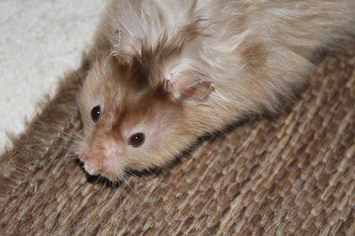 Hamster, Nager, Rodent, Animal, Close, Nature, Fur
