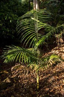 Palm, Bangalow Palm, Young, Tree, Forest, Australia