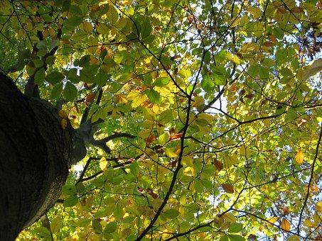 Beech, Beech Forest, Fagus Sylvatica, Treetops