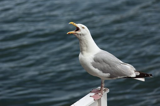 Angry, Animal, Beak, Bird, Cry, Gull, Loud, Mouth