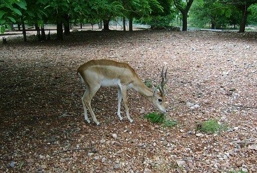 Blackbuck, Male, Antelope-cervicapra, Sub-adult
