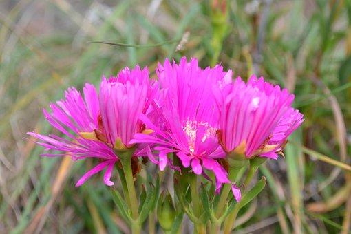 Noon-flower, Pink, Bright, Succulent
