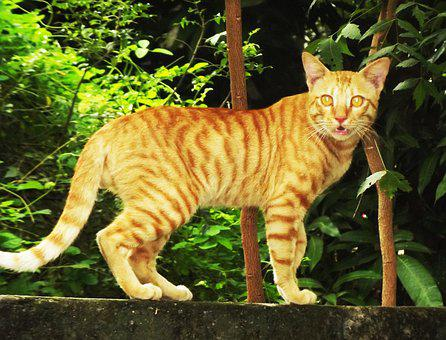 Brown Cat, My Home Cat, Cat Shown Like Tiger