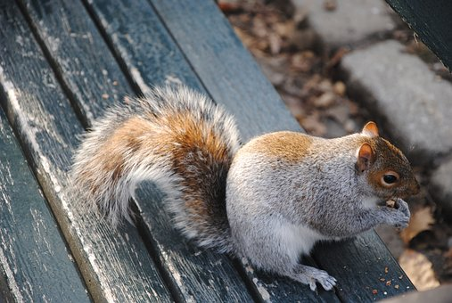 Squirrel, Nature, Central Park, Nyc, New York, Animals