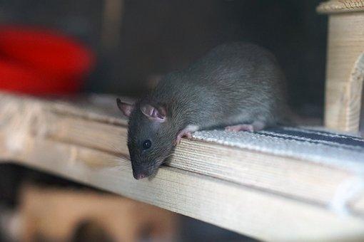 Rat, Brown, Baby, Baby Rat, Rat Babies, Child, Rodent