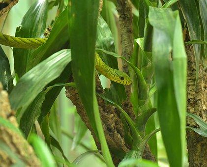 Green Mamba, Dendroaspis Viridis, Real Poison Snakes