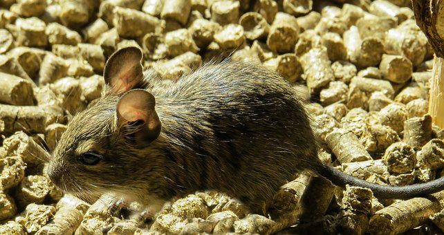 Degu, Rodent, Wore Rat, Ears, Mouse, Nager, Cute