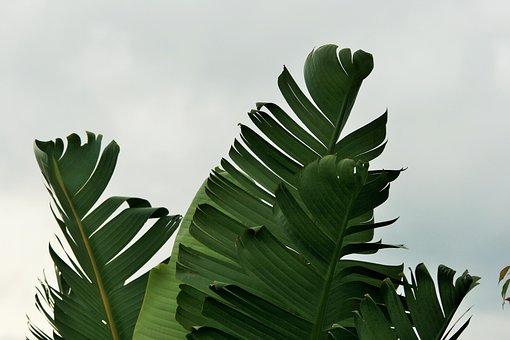 Leaves, Torn, Green, Fan Shaped, Strelitzia, Giant