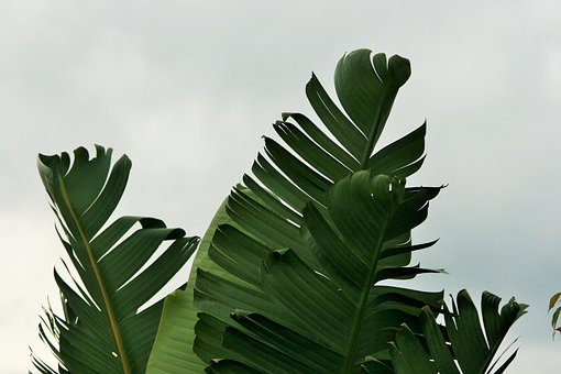 Leaves, Torn, Green, Fan Shaped, Strelitzia, Giant