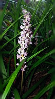 Liriope, Flower, Plant, Grassy, Grass Like, Pink Flower